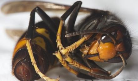 vespa-asiatica 2